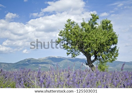 Lavender field, with tree. Provence. France.