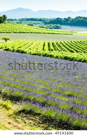 lavender field with vineyards, Drome Department, Rhone-Alpes, France