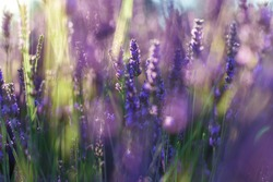 lavender fields and macro flowers in Valensole, typical Provence landscape in summer