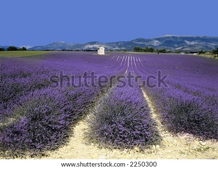 lavender fields provence france farming agriculture french europe