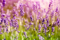 Lavender floral background