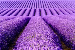 Lavender flower blooming scented fields in endless rows. Valensole plateau, provence, france, europe.