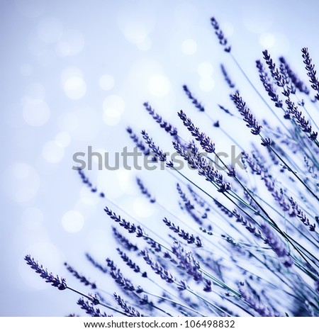 Lavender flower field background, fresh purple aromatic plant growing in summer garden, abstract violet floral border with bokeh dreamy blur light, natural beautiful meadow blooming glade, shallow dof