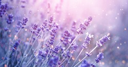 Lavender flower field, Blooming Violet fragrant lavender flowers. Growing Lavender swaying on wind over sunset sky, harvest, perfume ingredient, aromatherapy. Lavender field, Perfume ingredient