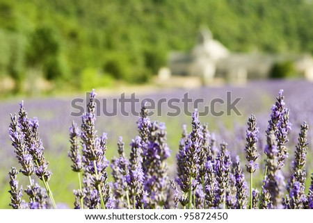 Lavender flower, field from Abbey de Senanque. Provence. France,