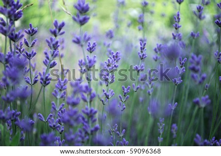Lavender flower field in fresh summer nature colors