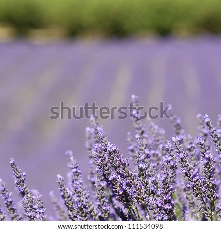 Lavender flower field. Provence. France.