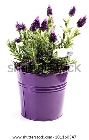 Lavender flower growing in a pot on a white background
