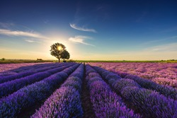 Lavender flower in the field panoramic view