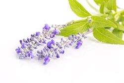 Lavender flower isolated on white background