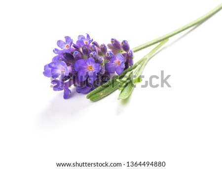 Lavender flower isolated on white background. Macro picture
