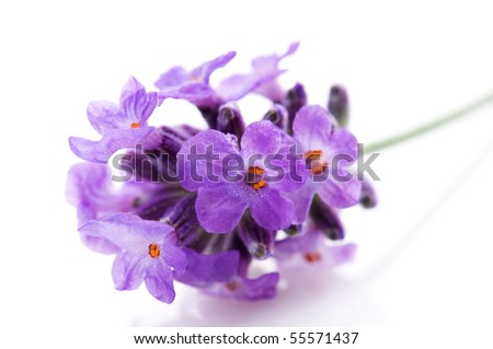 lavender flower on the white background #55571437