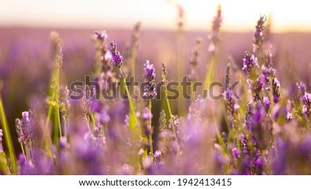 lavender flower primavera beauty sunset Foto stock ©