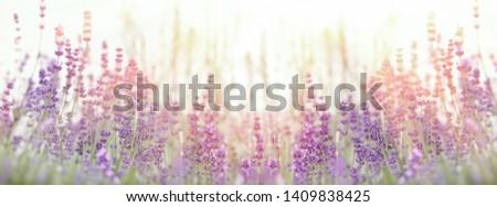 Lavender flower, selective focus on lavender flower in flower garden #1409838425