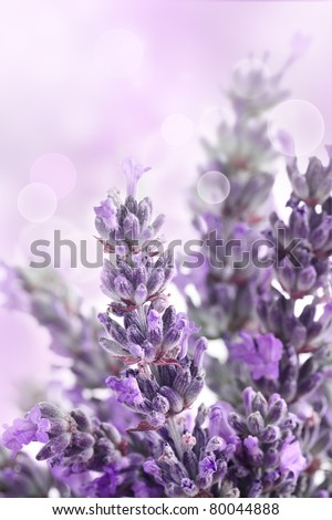 Lavender  flower spring background with beautiful purple colors and bokeh lights.