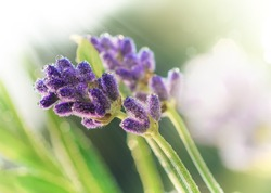 Lavender flower with morning dew in the rising sun . Purple blooming Lavender with natural bokeh lights from water drops on the grass macro