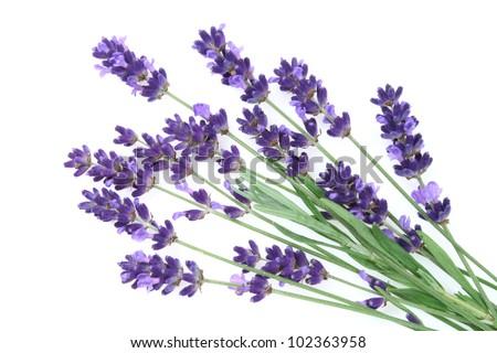 Lavender flowers against white background.