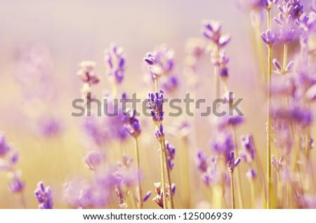 Lavender flowers bloom summer time