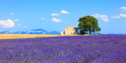 Lavender flowers blooming field, wheat, house and lonely tree. Panoramic view. Plateau de Valensole, Provence, France, Europe.