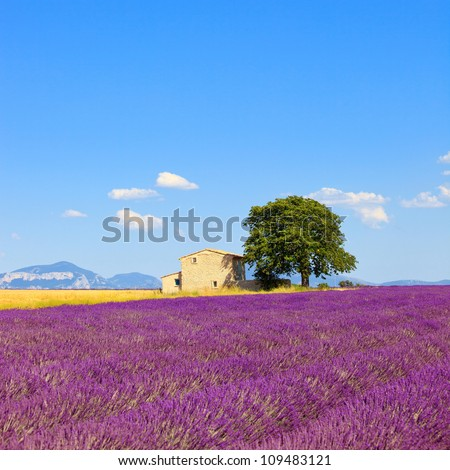 Lavender flowers blooming field, wheat, house and lonely tree. Plateau de Valensole, Provence, France, Europe.