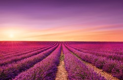 Lavender flowers blooming fields at sunset. Valensole, Provence, France, Europe.
