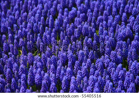 Lavender flowers blooming in a field Taken from Korea