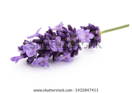 Lavender flowers bunch tied isolated on white background. Foto stock ©