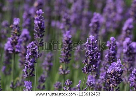 Lavender flowers, closeup