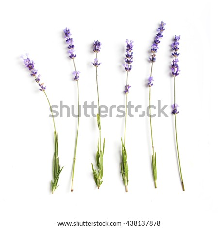 Lavender flowers collection  #438137878