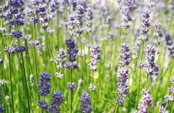 lavender flowers, field of blooming lavender, lavender field in germany,