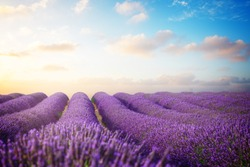 Lavender flowers field with summer blue and pink sunrise sky, Provence, France, retro toned