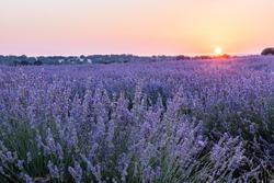 Lavender flowers in a field at sunrise, atmosperic landscape