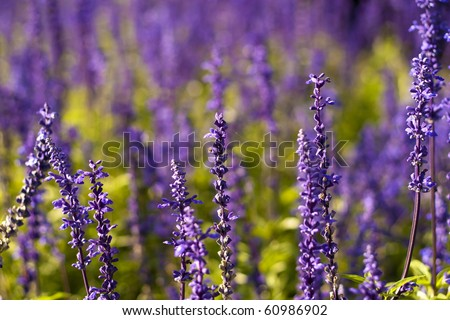 Lavender flowers in the open.
