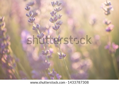 Lavender flowers in the sun. Lavender field in Provence. #1433787308