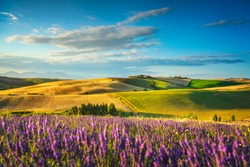 Lavender flowers in Tuscany, rolling hills and green fields. Santa Luce, Pisa Italy, Europe