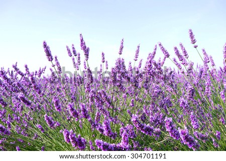 Lavender flowers - ingredient for cosmetic and aroma