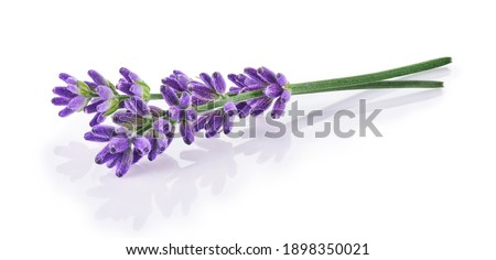 Lavender flowers isolated on white background     Stock photo ©
