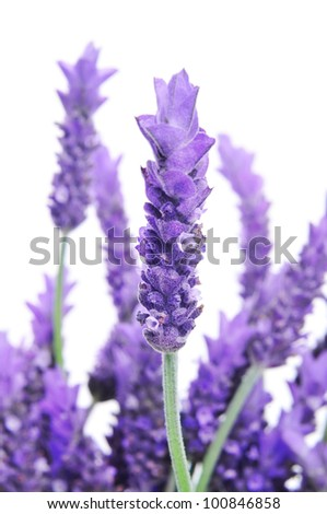 lavender flowers on a white background - stock photo