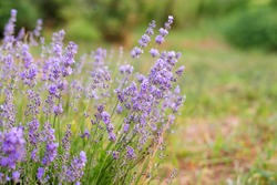 Lavender flowers, selective focus. Field of Lavandula angustifolia, Lavandula officinalis. Aromatherapy, nature cosmetics, ingredients and herbs for eco products