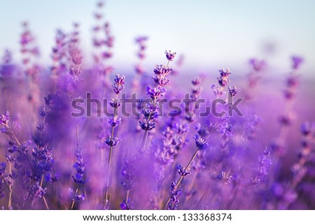 lavender flowers - Sunset over a summer purple lavender field . Bunch of scented flowers in the lavanda fields of the French Provence near Valensole