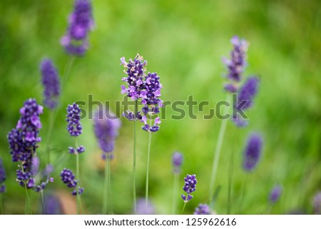 Lavender growing in summer garden close up