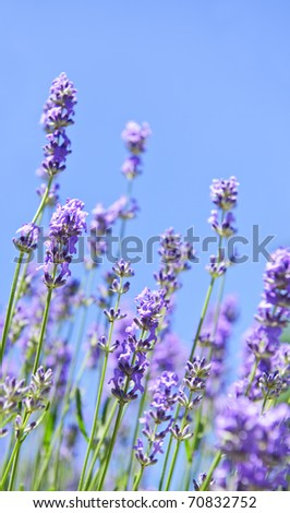 Lavender herb blooming in a garden with blue sky