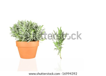 Lavender herb growing in a terracotta pot with a specimen sprig, over white background. (lavandula angustifolia vera
