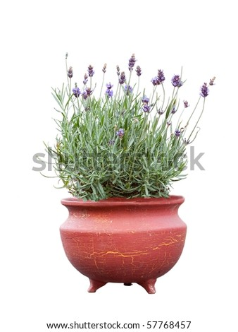Lavender herb plant in flower growing in a terracotta pot, over white background.