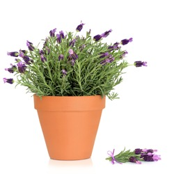 Lavender herb plant in flower growing in a  terracotta pot, with flower sprig, over white background.