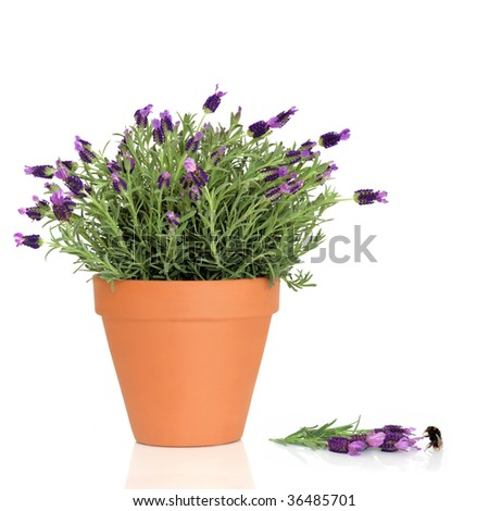 Lavender herb plant in flower growing in a terracotta pot with flowers and a bumblebee over white background.