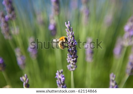 lavender - honey bee on lavender in Provence