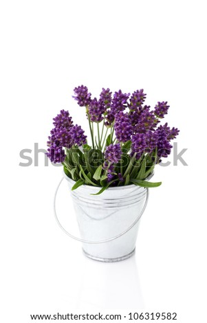 lavender in a metal bucket isolated on white