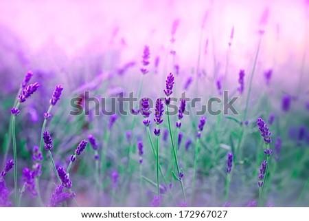 Stock Photo Lavender in my garden