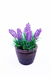 Lavender in pot on white background,  purple, lilac, violet, herb, plant